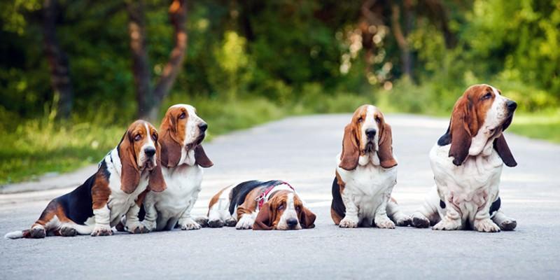 Le razze di cani con le orecchie lunghe e come prendersene cura